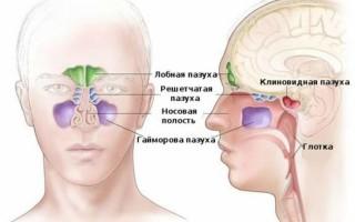 Пазухи носа: особенности строения и функции
