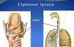 Что такое трахея: строение у человека, болезни