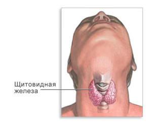 где находиться щитовидная железа