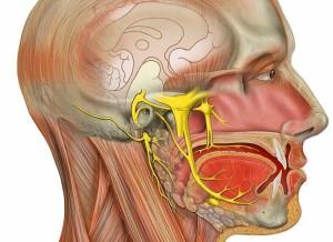 Слуховой нерв человека