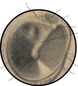 Рисунок барабанной перепонки уха человека