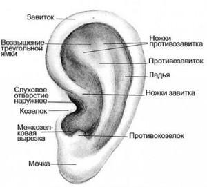 Как устроена ушная раковина