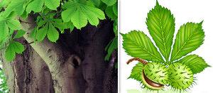 Листья и плоды конского каштана для лечения насморка