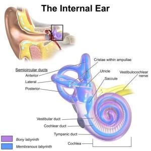 Анатомия внутреннего уха