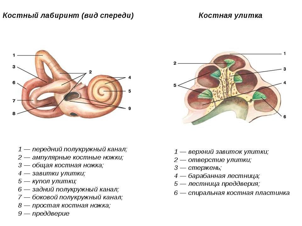 Костный лабиринт