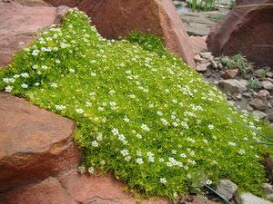 Ирландский мох - как вырастить на даче