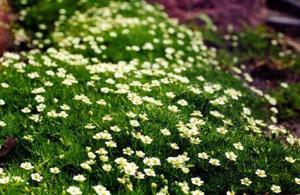 Мшанка - что это за мох и почему он так популярен