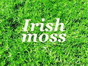 Ирландский (жемчужный) мох- применение, лечебные свойства, морские водоросли хондрус в таблетках, для похудения