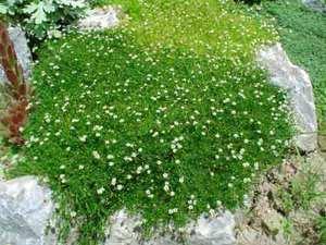 Мшанка шиловидная - фото растения