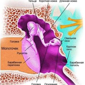 Анатомия среднего уха