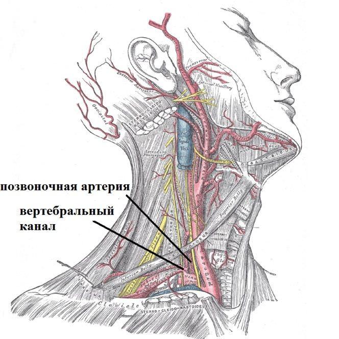 Расоположение артерии и канала
