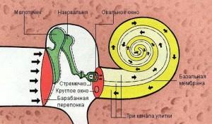 Передача звуков в среднем ухе